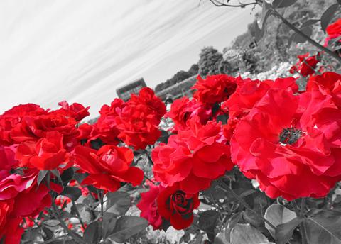 そよ風の吹く涼しいこのごろに世界の薔薇を鑑賞しました↑。