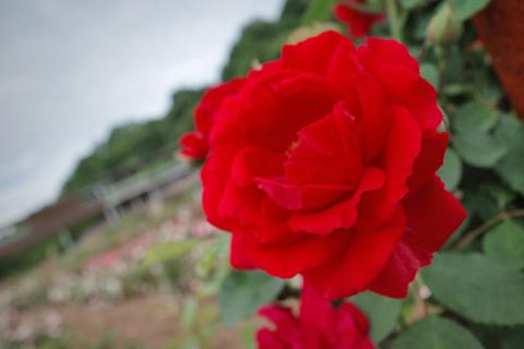 花フェスタ記念公園 春のローズ ウイーク